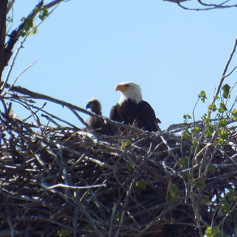 Downy bald eagle chick