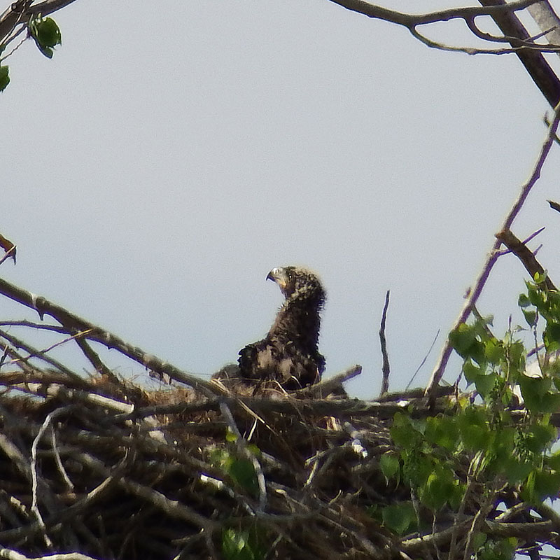 Downy/feathered bald eagle chick