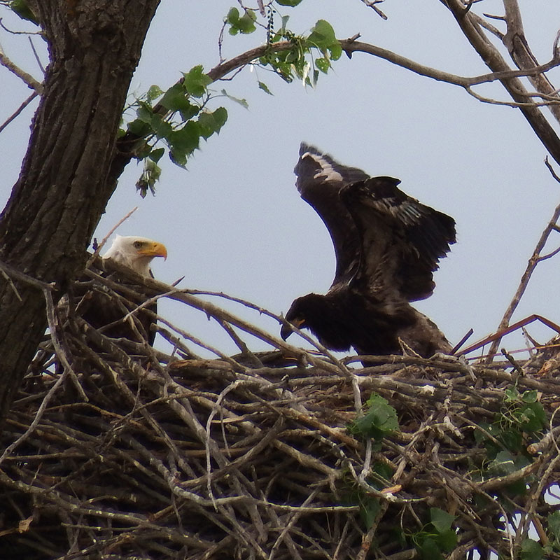 Bald eagle chick exercising wings