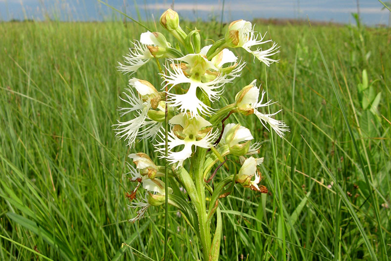 Western Prairie Fringed Orchid Image