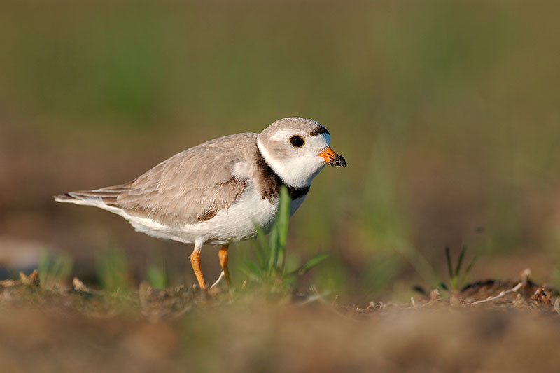Piping Plover Image