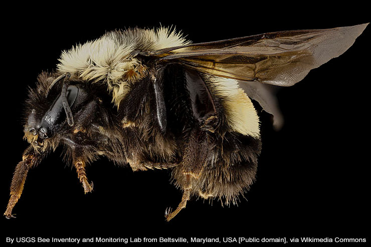 Rusty Patched Bumble Bee (Bombus affinis)  Image