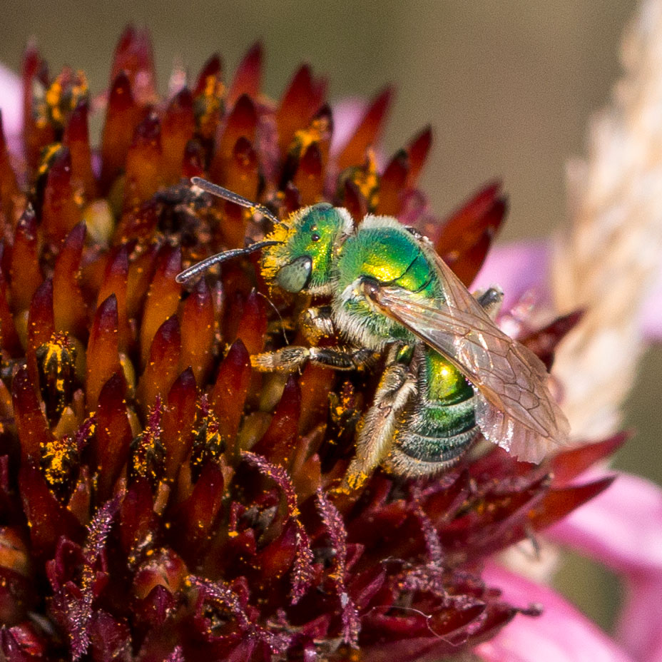 Pollinator on cone flower