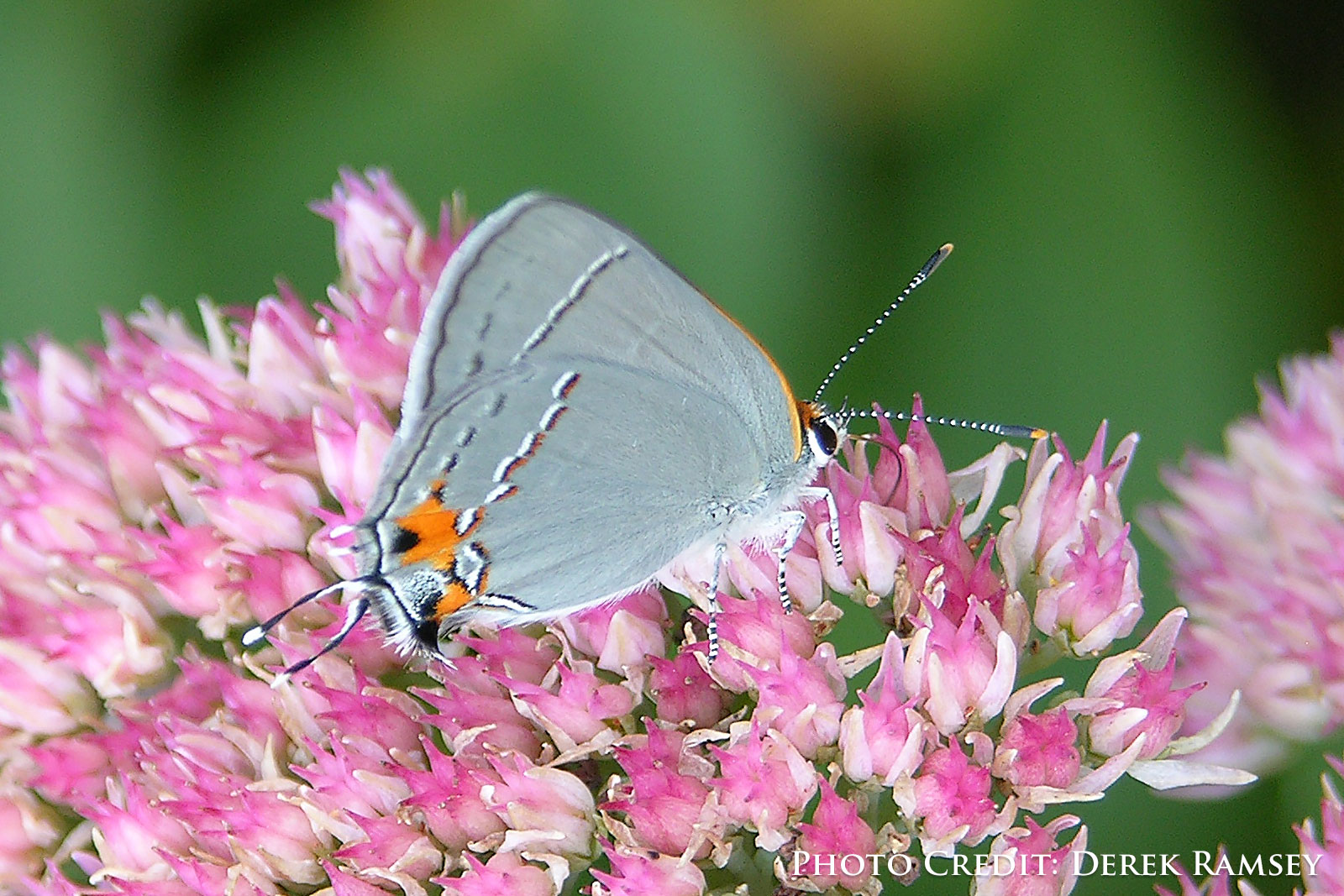 Gray Hairstreak Strymon melinux Butterfly