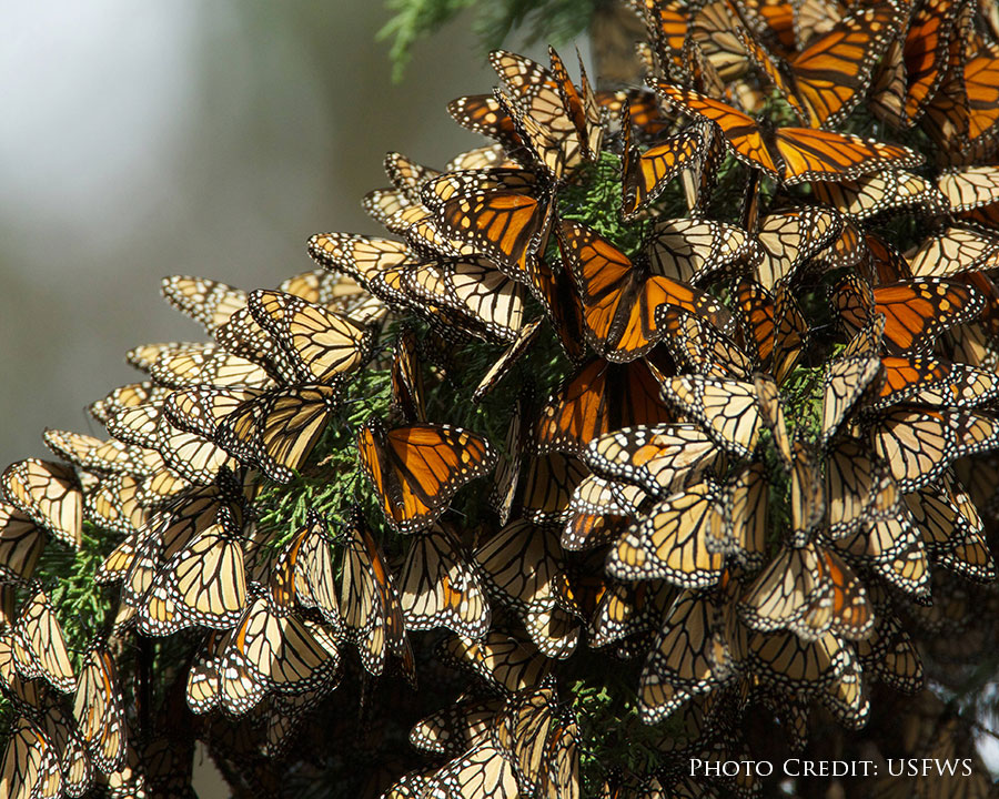 group of monarchs clustered on branch