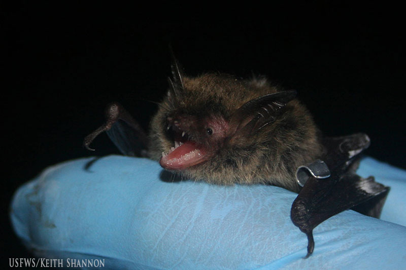 Northern Long-eared Bat Image