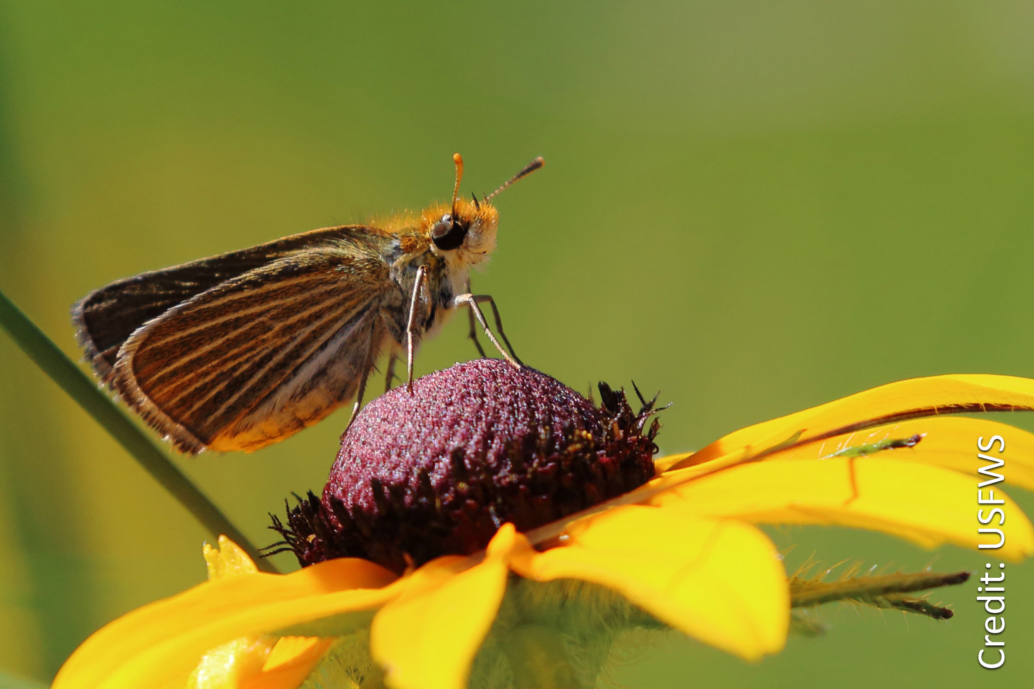 Poweshiek Skipperling Image