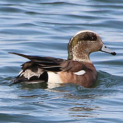 American Wigeon Link Icon