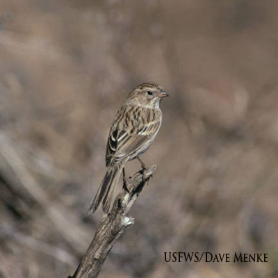 Brewer's Sparrow Link Icon