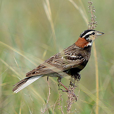 Chestnut-collared Longspur Link Icon