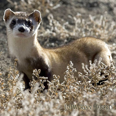 Black-footed Ferret Link Icon