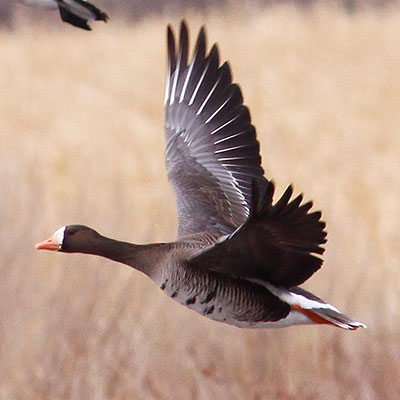 Greater White-fronted Goose Link Icon