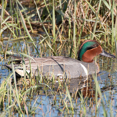 Green-winged Teal Link Icon
