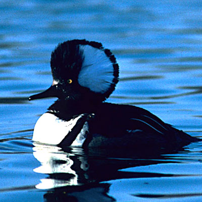Hooded Merganser Link Icon