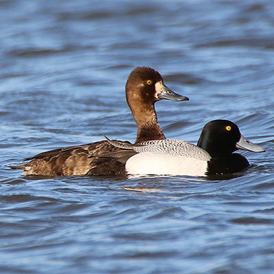 Lesser Scaup Link Icon