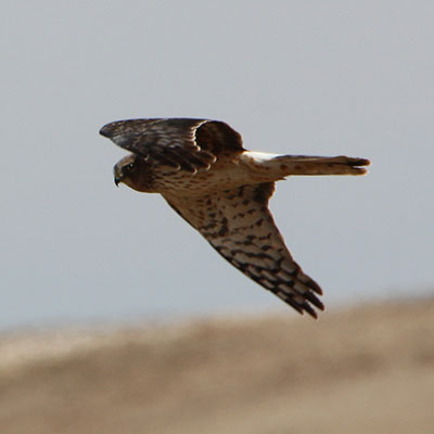 Northern Harrier Link Icon
