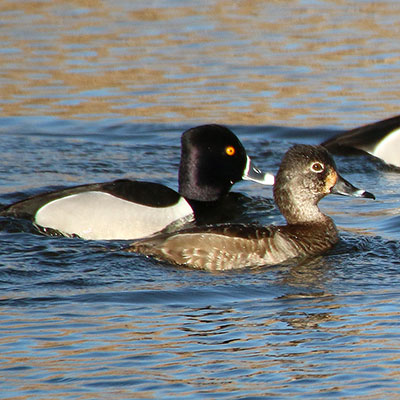 Ring-necked Duck Link Icon