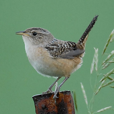Sedge Wren Link Icon