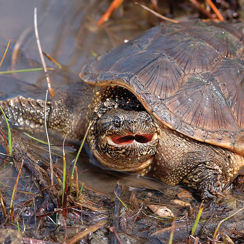 Snapping Turtle  Photo