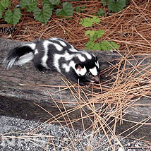 Eastern Spotted Skunk Link Icon