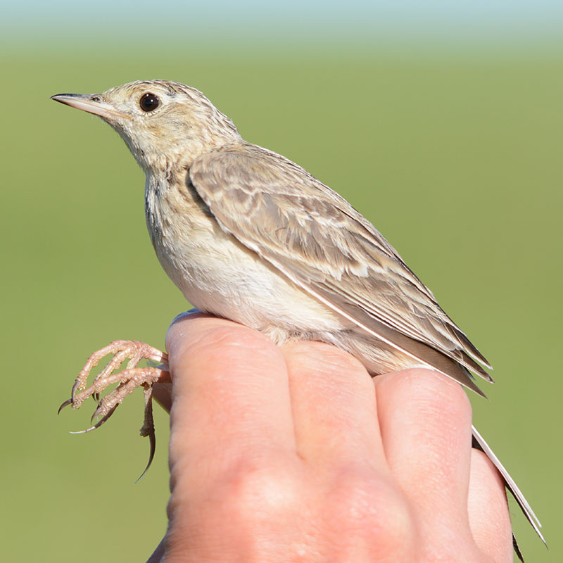 Sprague's Pipit Link Icon
