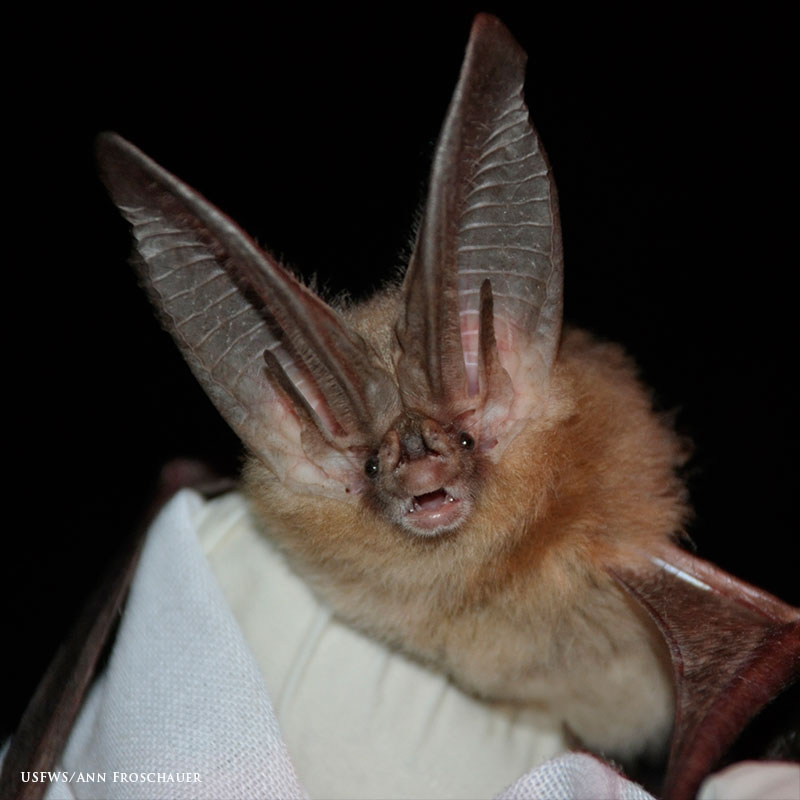 Townsend's Big-eared Bat Link Icon