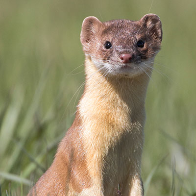 Long-tailed Weasel Link Icon