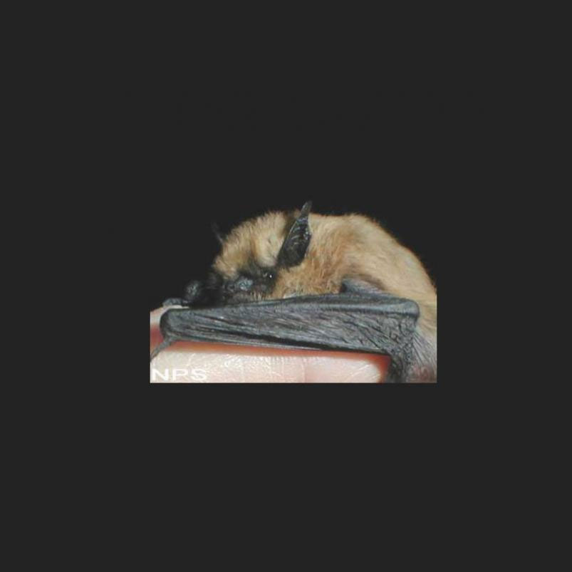 Western Small-footed Bat Link Icon