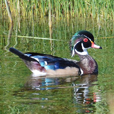 Wood Duck Link Icon
