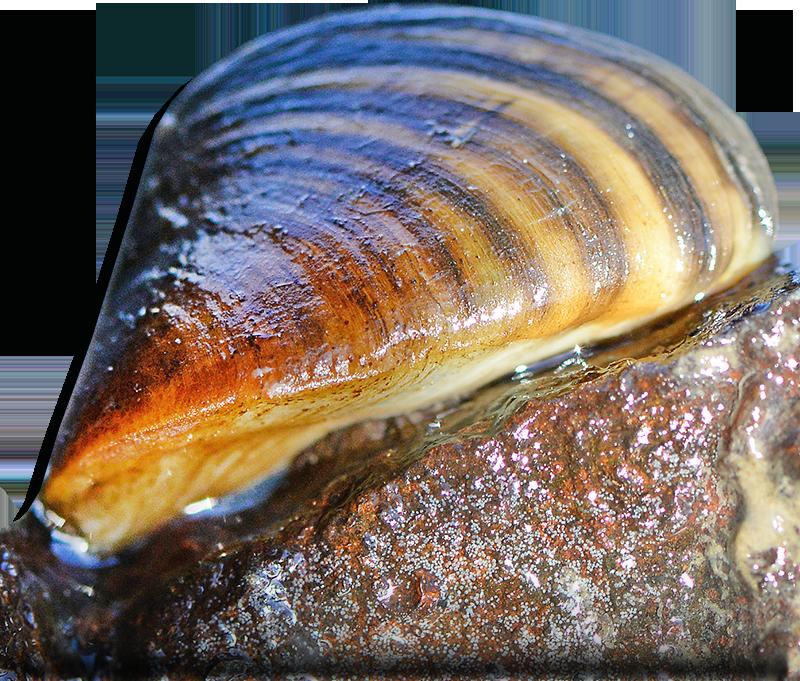 Zebra Mussel