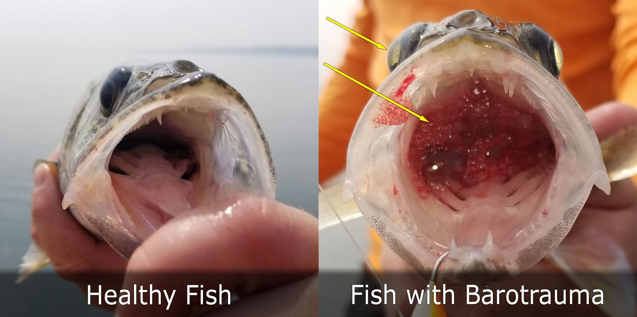 Healthy fish on left. Fish with barotrauma on right.