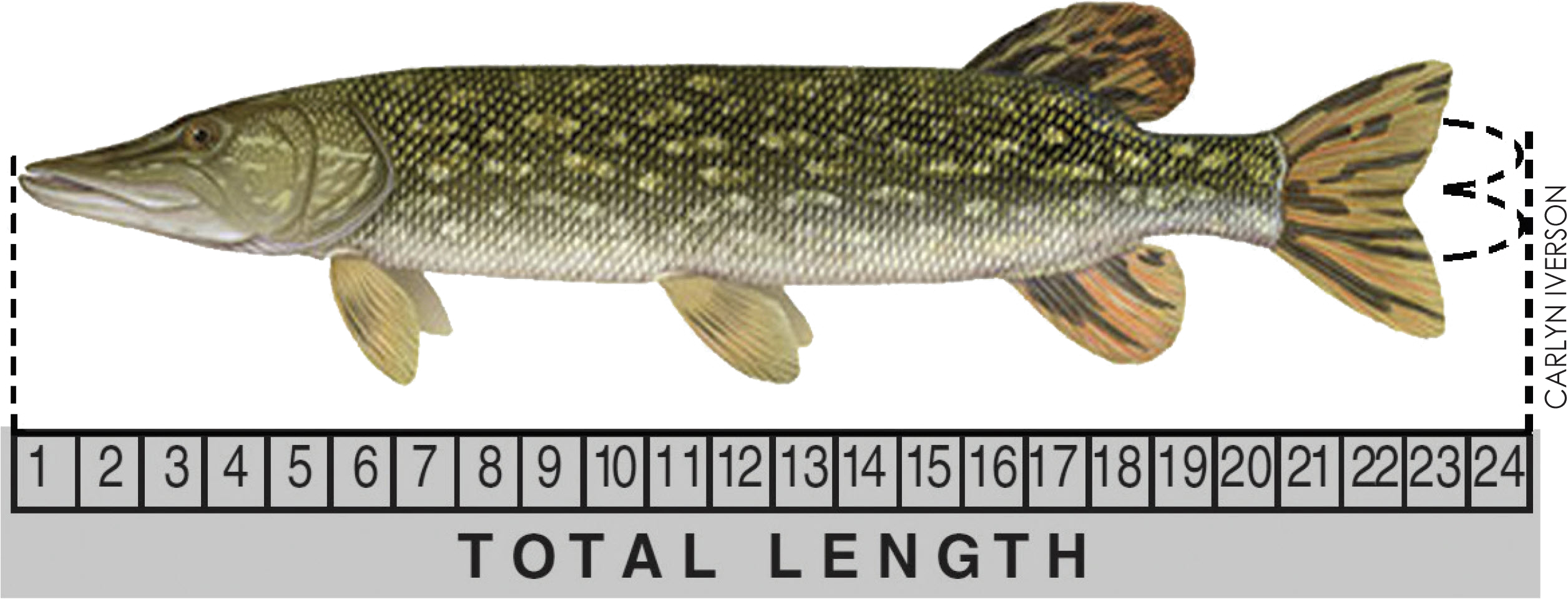 Northern pike above ruler