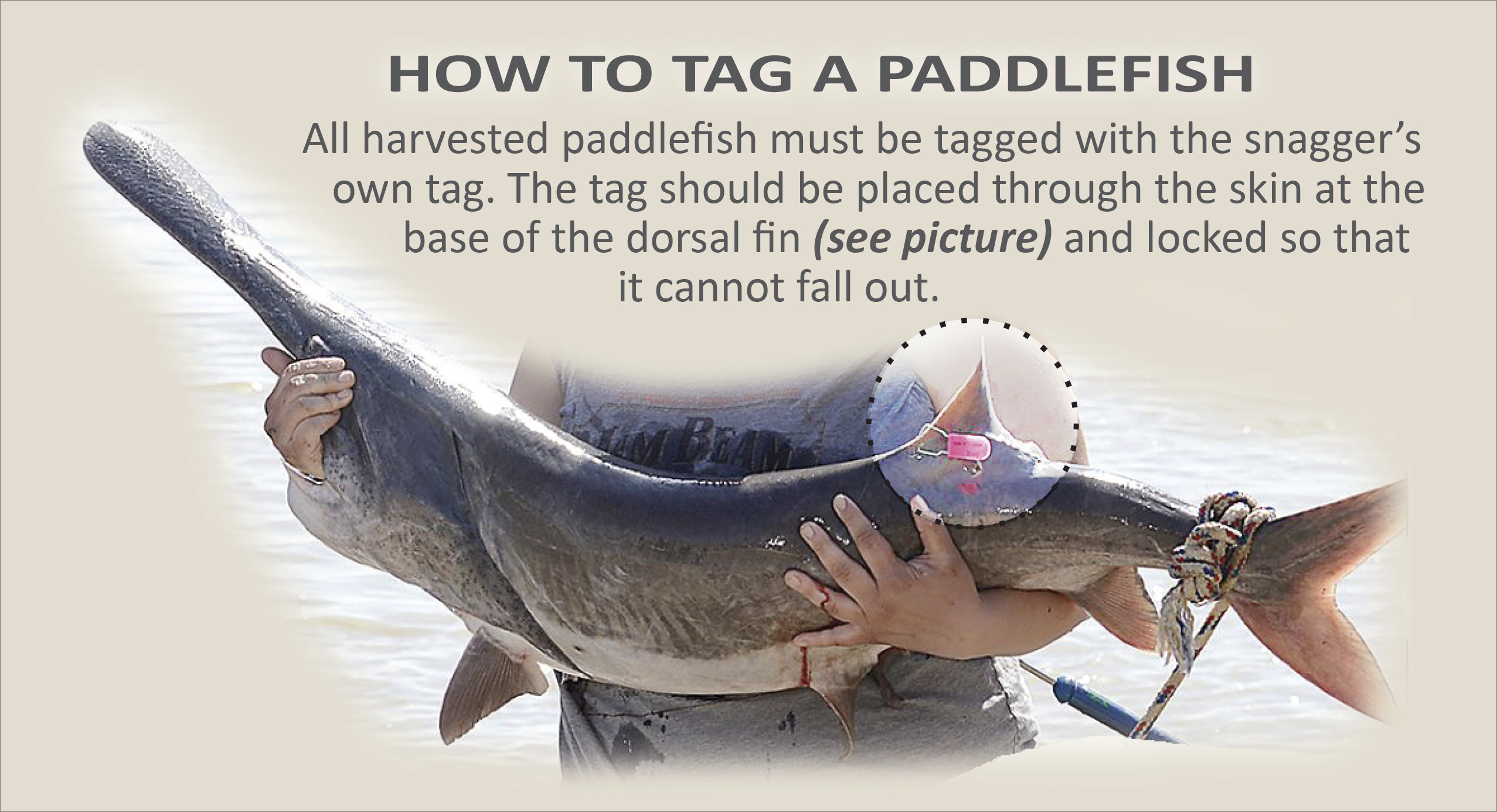 Paddlefish with tag
