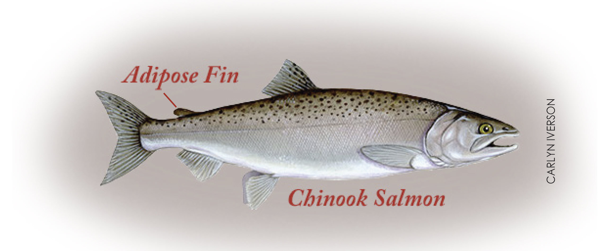 Drawing showing salmon adipose fin