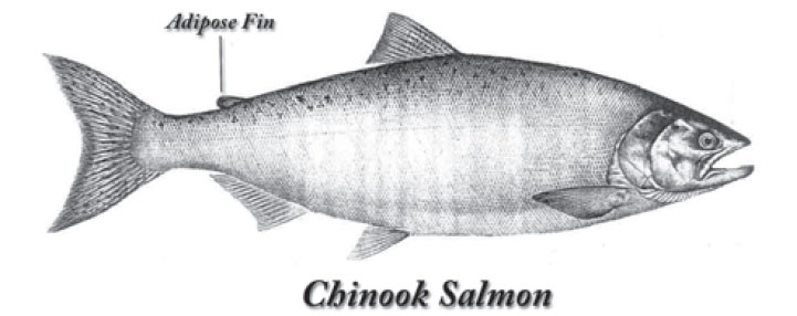 Salmon Adipose Fin