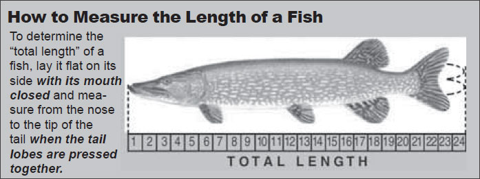 To determine the total length of a fish, lay it flat on its side with its mouth closed and measure from the nose to the tip of the tail when the tail lobes are pressed together.