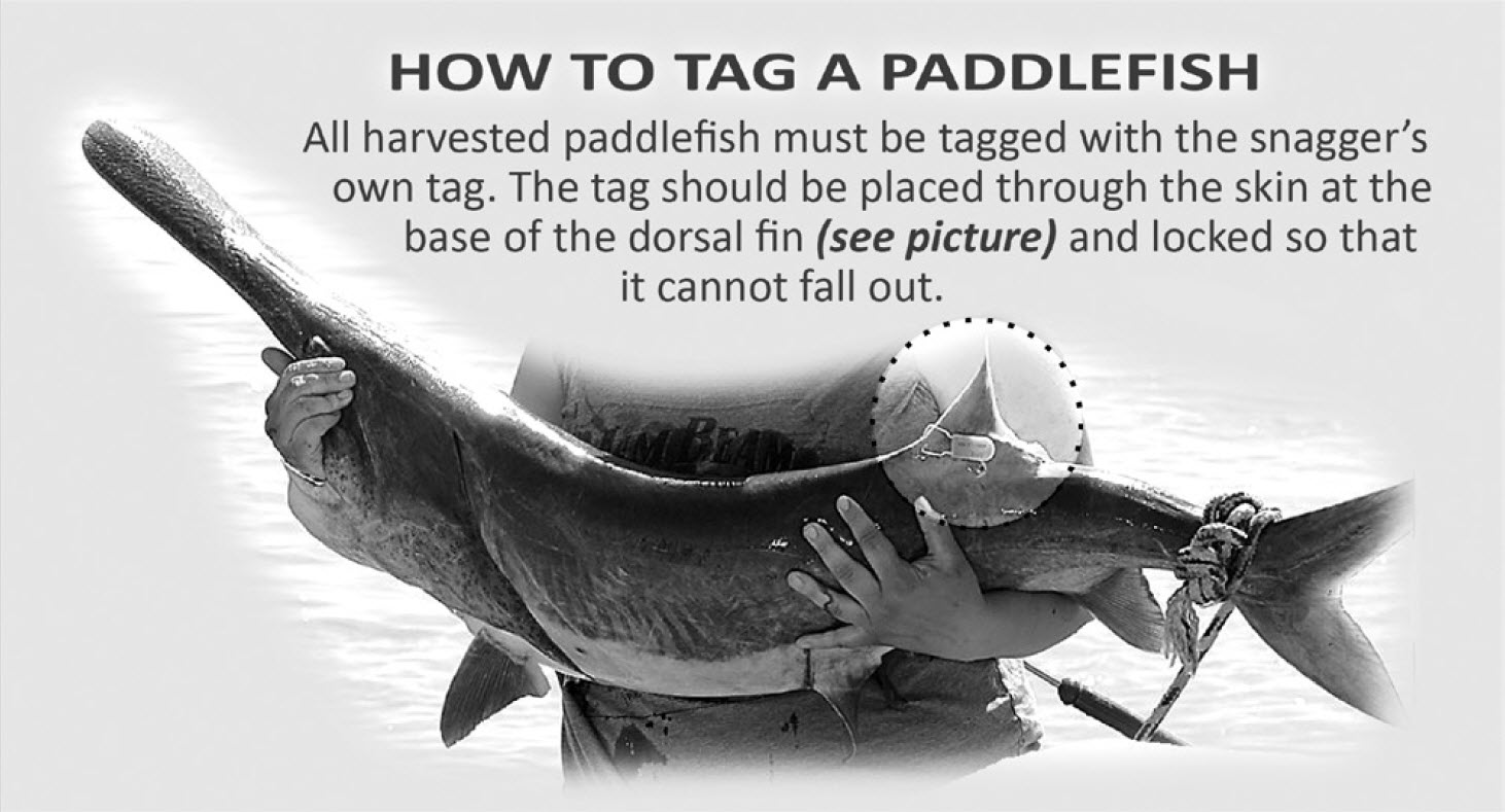 graphic showing properly tagged paddlefish