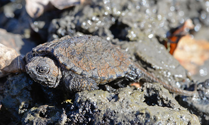 Baby snapping turtle in mud