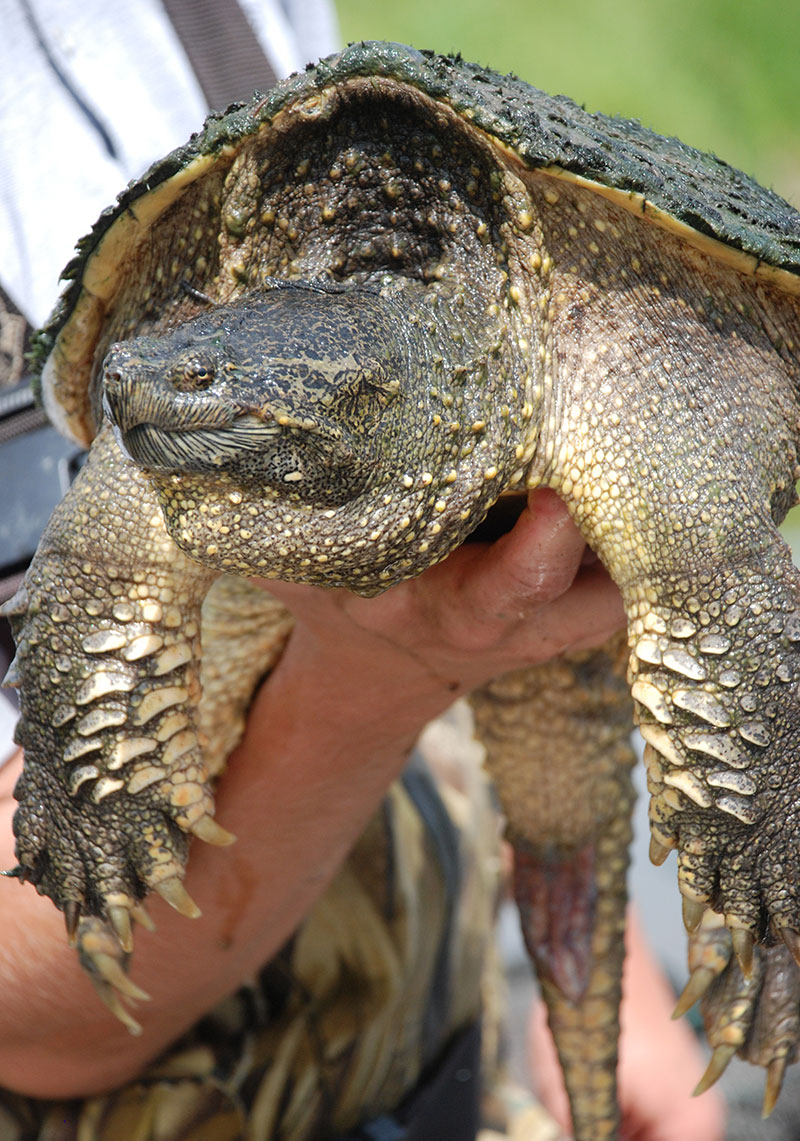 Department employee holding snapping turtle...turtle looks throughly disgusted
