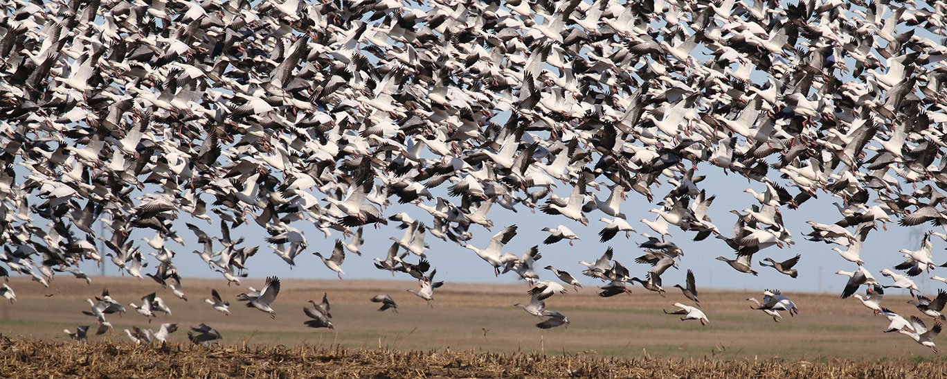 Light goose flock taking off from field