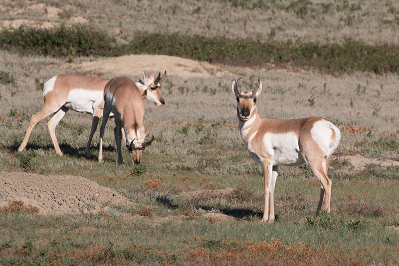 3 pronghorn grazing in prairie dog colony