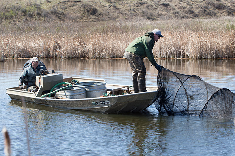 Fisheries staff netting bluegill