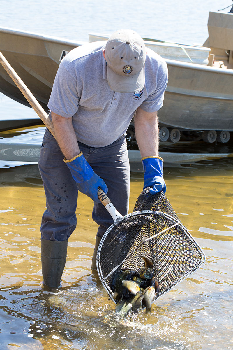 Fisheries staff releasing bluegill from net
