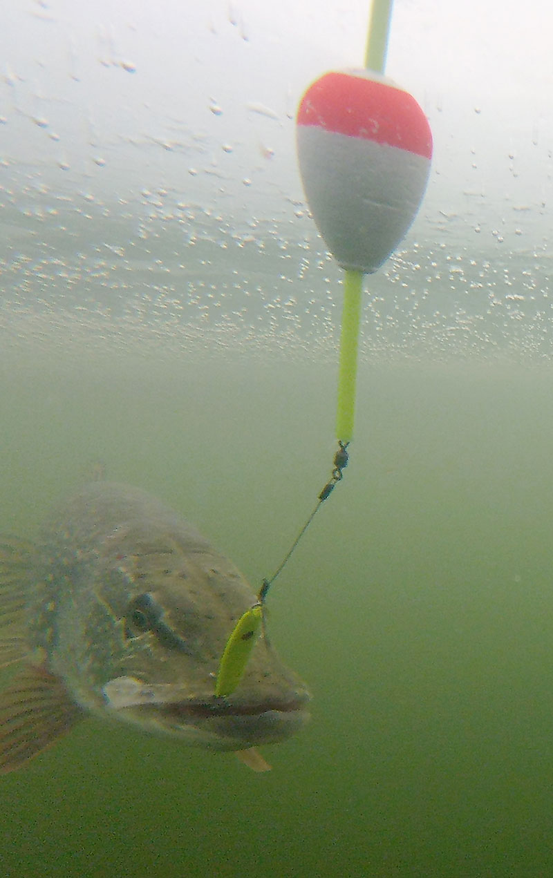 Walleye underwater