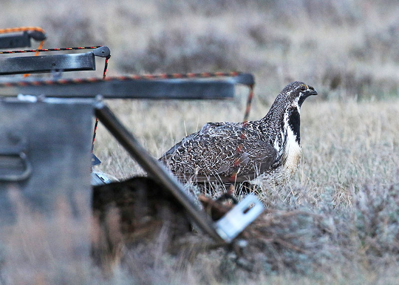 Sage grouse just released into new area
