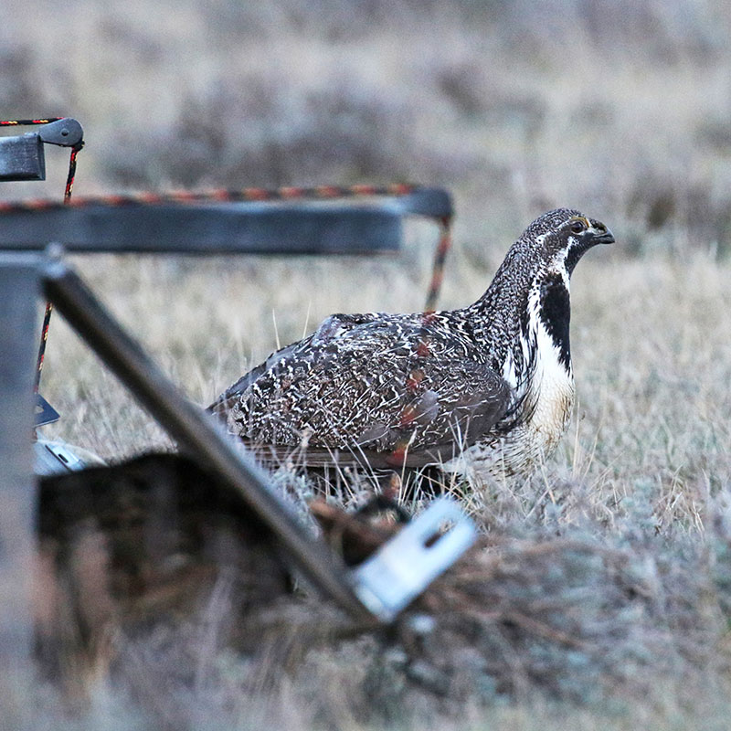 Sage grouse being released