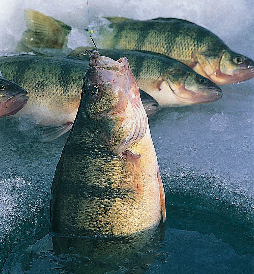 Perch caught ice fishing