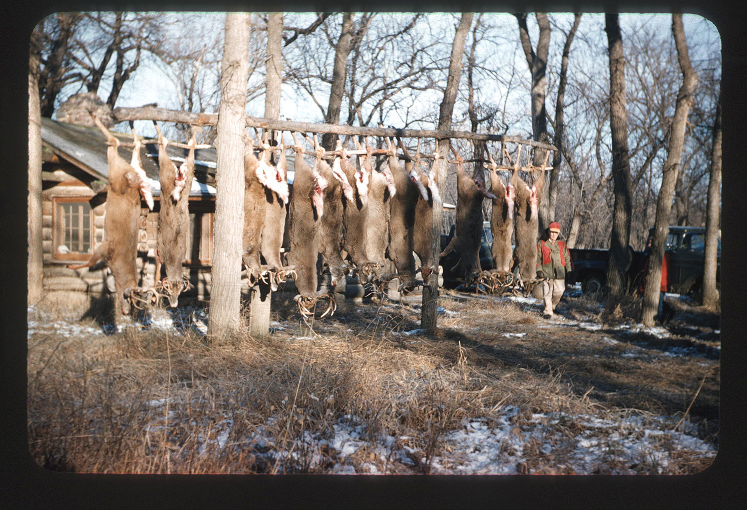 1939 Kodachrome transparency of deer hanging from wooden rack
