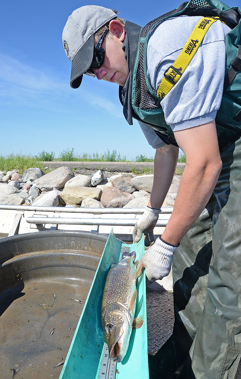 Seasonal worker measuring fish