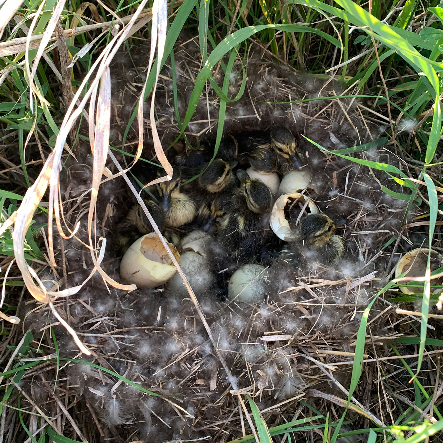 Newly hatched ducklings in nest